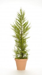 Cypresse Goldcrest mit Terrakotta Kunststoff Übertopf mieten