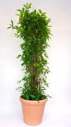 Draceana Surculosa mit Terrakotta Kunststoff Übertopf mieten