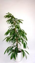 Ficus Amstel King mit weißem Übertopf mieten