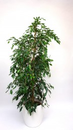 Ficus Benjamini mit weißem Übertopf mieten