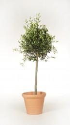 Oliven in Terrakotta Kunststoff Übertopf mieten
