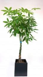 Pachira Pflanze im Terrazzo Übertopf mieten