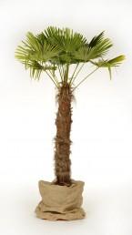 Trachiocarpus mit Jute umwickelt mieten